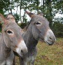 Singlesclub organiseert voor 50- plussers op zondag 13 mei een ezeltjeswandeling